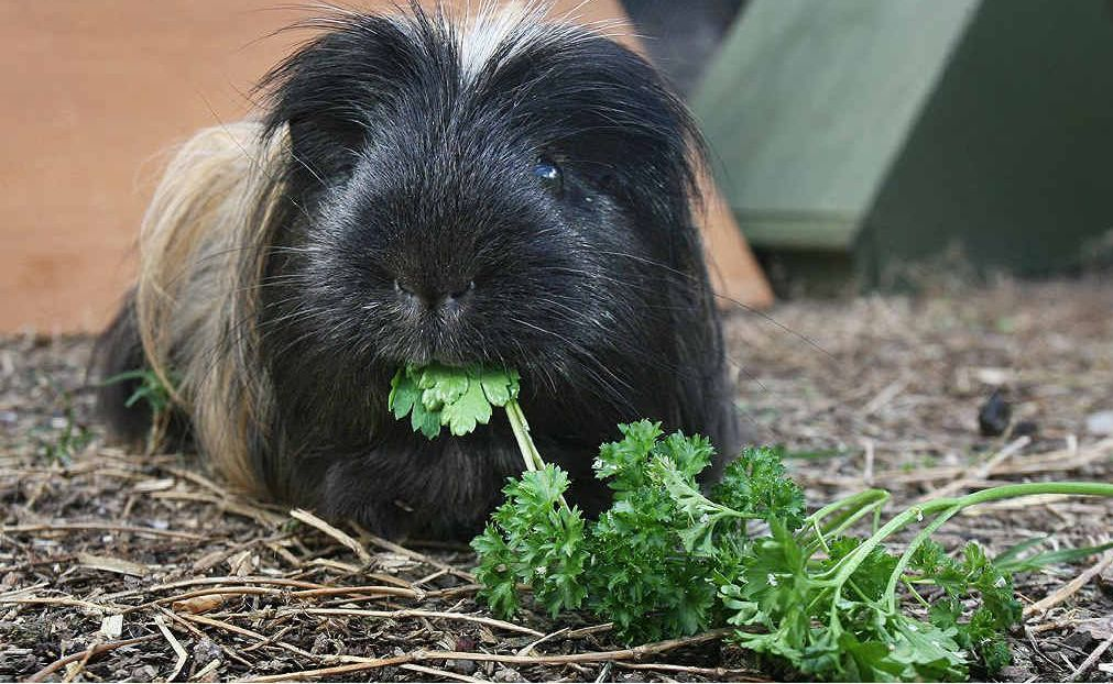 15-year-old Sweetie met his first female guinea pig this year – he knew how everything worked.