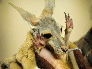 Driver came back to kill more kangaroos near Bribie Island