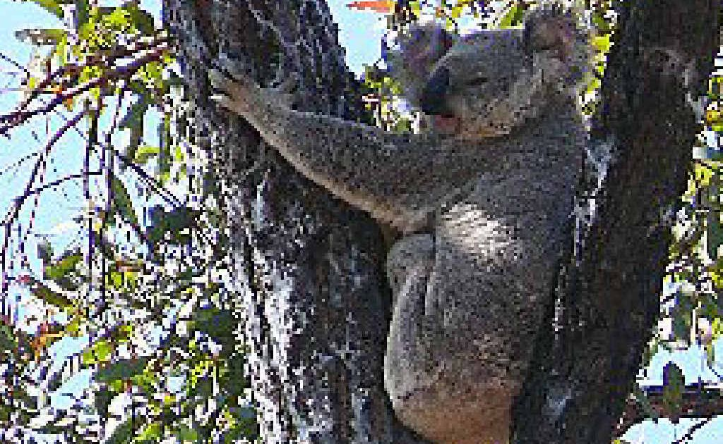 An audit of koala activity in the Springsure region has begun as part of a conservation program.