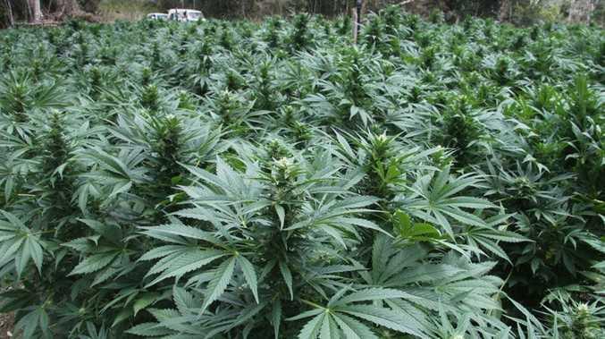 Cannabis plantation, Mackay