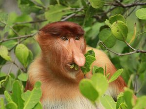 Sniffing out the proboscis monkey