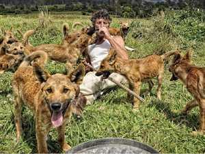 Dingo howls ABC theme