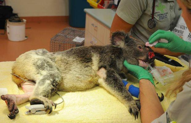 A male koala, Fleet, which was shot seven times, is treated at Australia Zoo Wildlife Hospital.