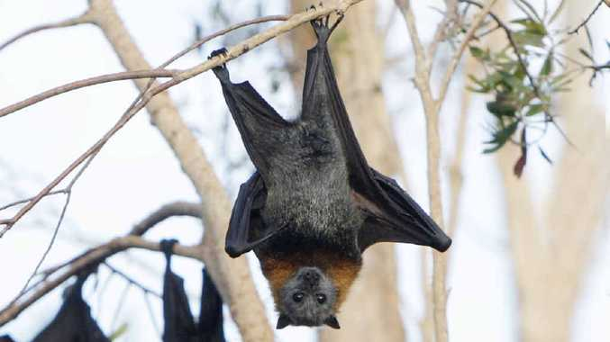 GOING BATTY: Albury City Council is taking a noisy approach to clearing flying foxes. Photo: Cade Mooney