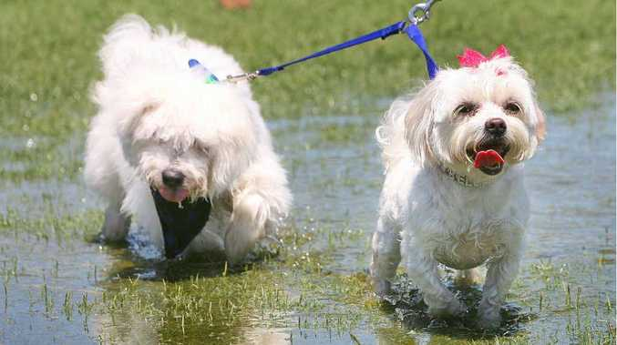 Digby and Bella cool off in a rain puddle during the Woofstock event held at Limestone Park on Sunday.