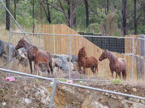 Horses run wild in Beef Capital