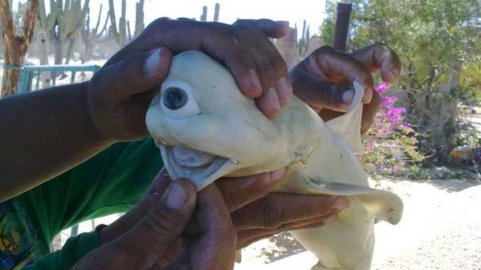 Commercial fishermen reportedly sliced this malformed fetal shark from the belly of a dusky shark.