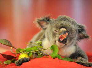 Koala shot seven times treated at zoo