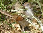 The eastern bristlebird is listed as critically endangered.