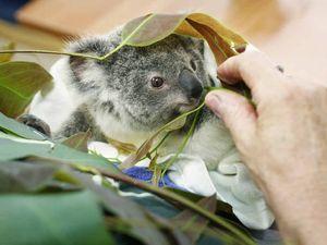 Carers do best for doomed koalas