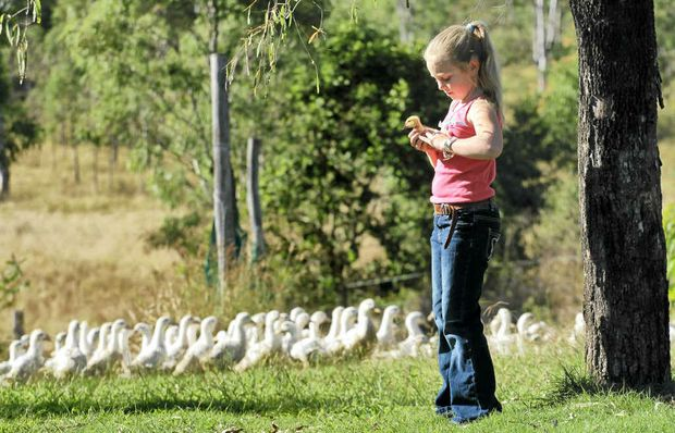 Annabelle Sterns checks on the ducks that are raised free-range on her family's farm at Kilkivan. Bendele ducks were chosen to be served to the Queen and Duke of Edinburgh at last week's royal luncheon in Brisbane.