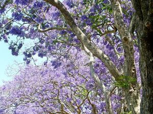 Historic Jacarandas to join official Character Place list