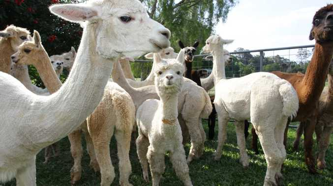 PETA offer $1,000 reward up for grabs for information on alpaca attackers.