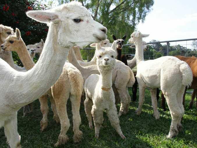 The alpacas were beaten to death on Saturday October 13.