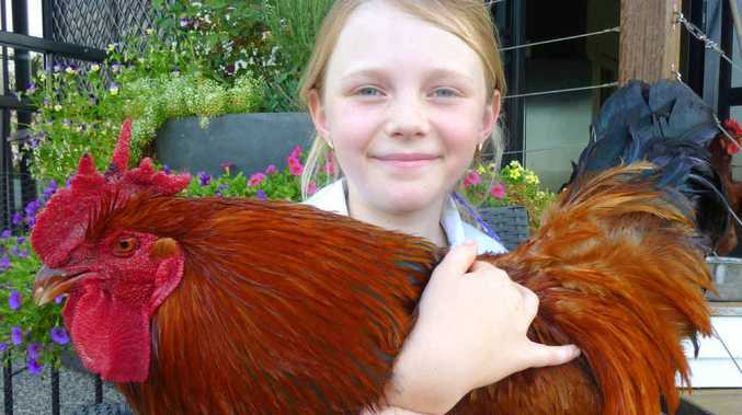 Shelbee Sonter, 8, with Leroy, whose future is in question due to a complaining neighbour. Mum Bianca says as far as she is concerned, she lives on acreage and can keep a rooster.