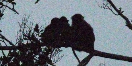 Macaque monkeys settle down for the night in trees along the Klias River.