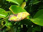 Myrtle rust has been detected on the Fraser Coast in Pialba and Dundowran Beach.