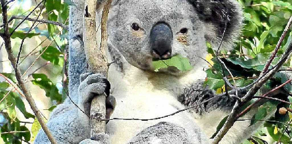 DYING BREED: Noosa's koalas are fast disappearing.
