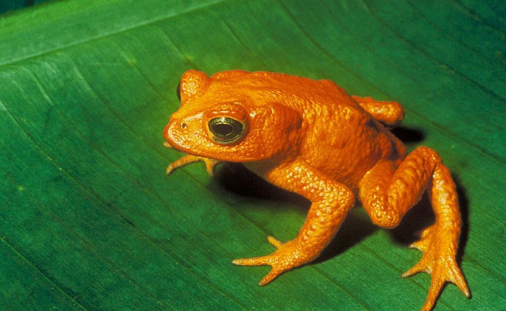 Costa Rica's Golden Toad.