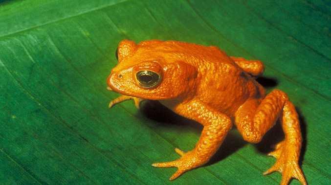 Costa Rica's Golden Toad.