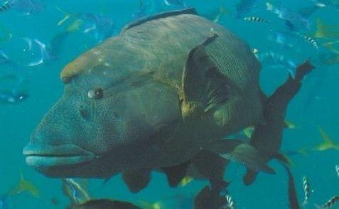 Giant Queensland Grouper.