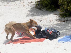A dingo stole my camera