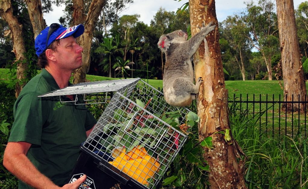 Volunteer Ray Chambers has been fined for speeding on his way to help injured koalas.