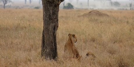 A lioness prospecting for her next meal.