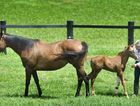 Fiona Leviny with her mare Fig (left) and new foal Lottie, who was born with a leg defect.