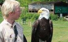 A bald eagle eyes up its handler in the Valley of the Eagles.