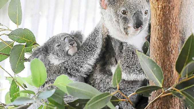Civilisation is proving costly for Noosa area koalas this week. One was killed on the road and another was rescued from a tree.