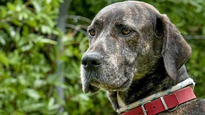 RSPCA Toowoomba shelter manager Maree Fenton is hoping to find homes for dogs like Kane the great dane.