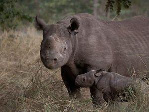 Hunter wins black rhino kill in conservation auction