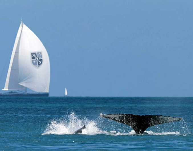 Whales play in the waters of the Whitsundays as the yacht Kokomo competes in the Audi Hamilton Island race Week.
