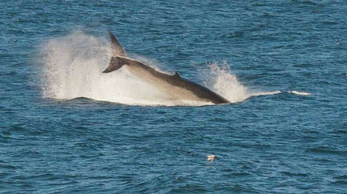 A small pod of what onlookers believed to be minke whales were sighted close into Emerald Beach for most of Monday afternoon while feeding on a large school of bait fish. Picture: TREVOR VEALE