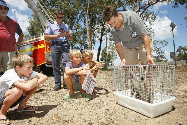 Ipswich Koala Protection Society secretary Helen Darbellay with the injured koala.