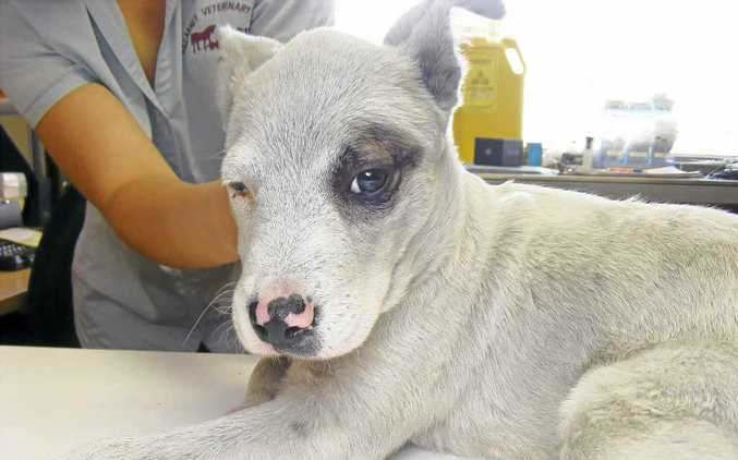 This three-month-old puppy was found dumped on Woodenbong tip.