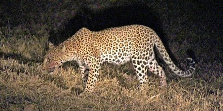 A leopard, blood smeared on its muzzle from a recent kill, stalks through the grass.