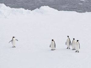 150,000 penguins die as iceberg leaves them landlocked