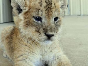 Lion cubs create stir in Sydney