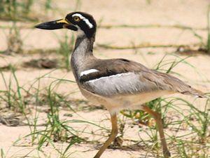 Rare birds sighted at Fingal Head