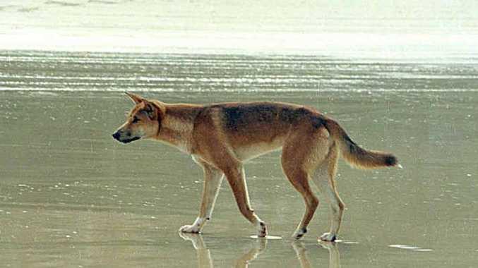 Dingo problems on Fraser Island.