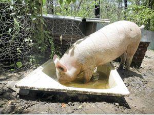 Pig's big problem