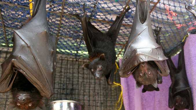 These young flying foxes are being cared for by Val Dworzak and Pieter Haynes after being rescued from netting, power lines and fences.