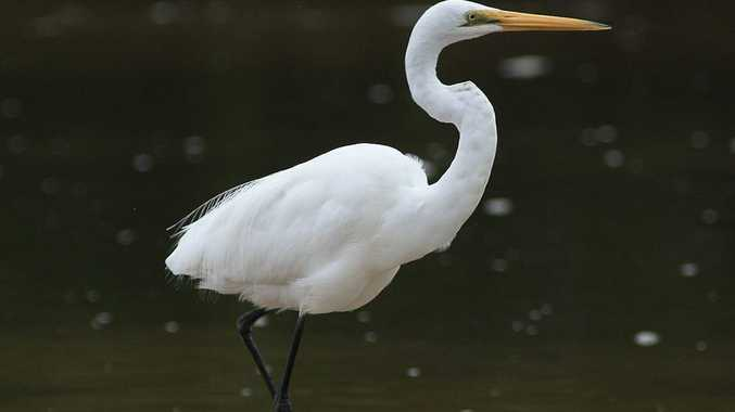 Great Egret Ardea alba Average size 80cm.