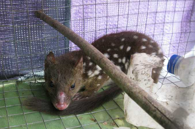 A tiger quoll caught in an Indian myna trap in South Grafton.