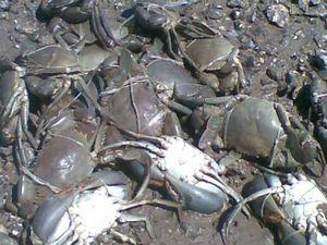 Crab catch dumping shocks