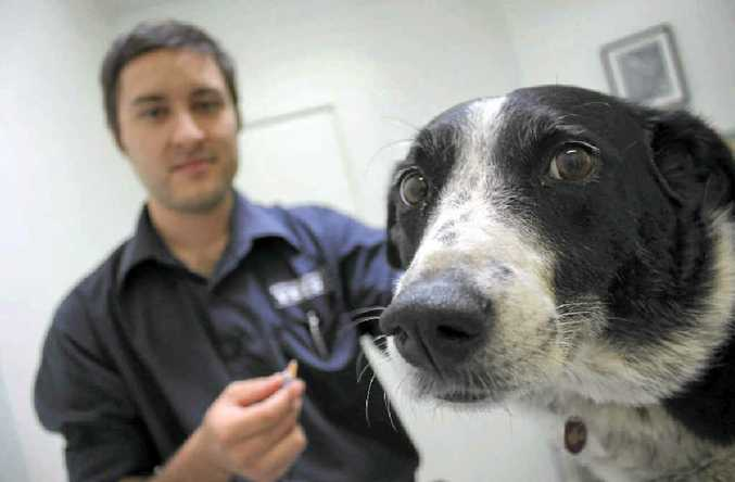 Bailey gets her vaccinations from Warwick Town and Country's vet Simon Lever as parvovirus cases spike.