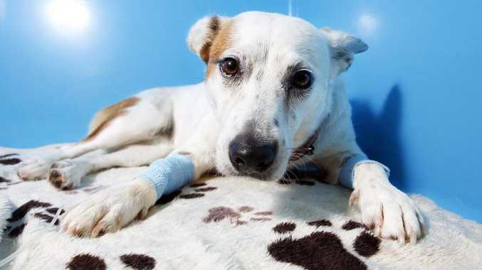 River the red cattle dog cross recovers from an eastern brown snake bite which she sustained after trying to save two children's lives.