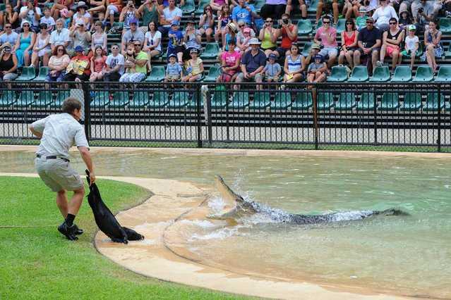 Wild Boar Fed To Crocodile At Australia Zoo Grafton Daily Examiner